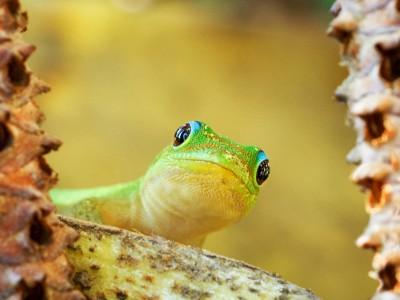 Gecko vert (Phelsuma)
