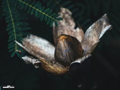 Rose des bois (Merremia tuberosa)