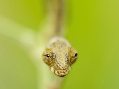 Caméléon panthère juvénile (Furcifer pardalis)