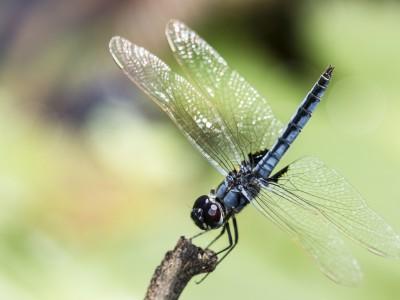 Libellule (Urothemis edwarsii)