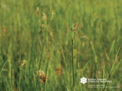 Cyperus corymbosus