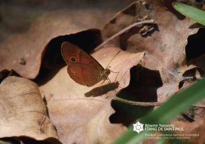 Papillon henotesia narcissus borbonica