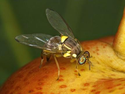 La nouvelle mouche des fruits : Bactrocera dorsalis